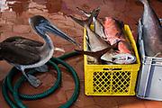 Brown pelican (Pelecanus occidentalis)<br /> Fish Market<br /> Puerto Ayora, Santa Cruz Island<br /> GALAPAGOS ISLANDS<br /> ECUADOR.  South America