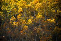 Late afternoon sunlight streams over the mountain top to illuminate the golden yellow aspen trees in Northern Utah.