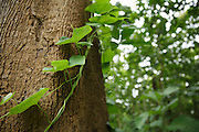 Vine on a tree in the forest in Katiola, Cote d'Ivoire on Friday July 12, 2013. In this region, FGM/C is often practiced in a sacred forest, where young girls are taken by FGM/C practitioners.