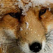 Red Fox (Vulpus fula) Portrait in snow. Winter. Montana. Captive Animal.