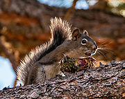 This Pine Squirrel, also known as a Chickaree (Tamiasciurus hudsonicus), chattered loudly while eating a cone. Sunshine Campground, Uncompahgre National Forest, near Telluride, Colorado, USA.