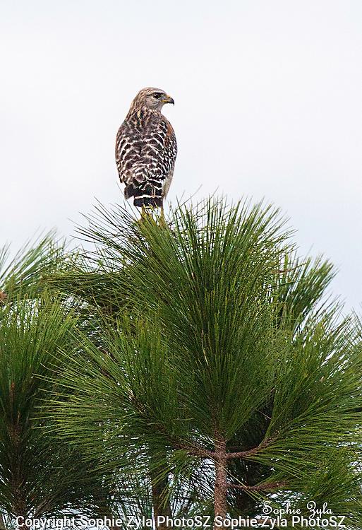 Red-shouldered Hawk for a Longleaf Pine Lookout
