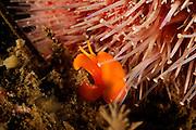 Sea slug (Berthella sideralis) is a Pleurobranchidae, Atlantic Ocean, Strømsholmen, North West Norway | Atlantischer Ozean, Strømsholmen, Nordwestküste von Norwegen