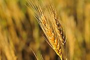 Wheat closeup <br /> Webb<br /> Saskatchewan<br /> Canada