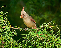 Pyrrhuloxia (Cardinalis sinuatus). Campos Viejos, Texas. Image taken with a Nikon D800 camera and 400 mm f/2.8 lens.