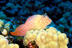 shortbodied blenny, spotted coral, blenny, or leopard blenny, Exallias brevis, Kona, Big Island, Hawaii, Pacific Ocean