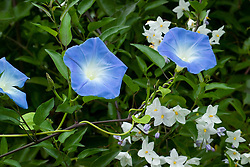 Morning Glory - Ipomoea tricolor 'Heavenly Blue' growing with Solanum laxum syn. Solanum jasminoides in the exotic garden at Great Dixter