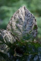 Powdery mildew on leaf of Hydrangea macrophylla 'Merveille Sanguine'