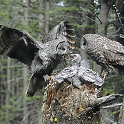 Great gray owl adult female bringing in prey to feed its babies in the nest. Montana