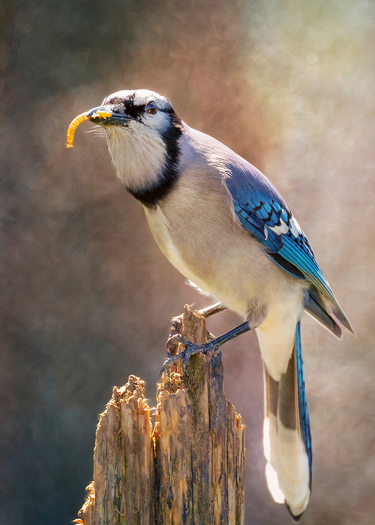 A Blue-Jay Posted On A Broken Tree Stump With A Mealworm In His Beak