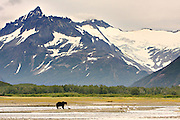 Brown Bear (Ursus arctos), Katmai - Alaska