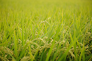 Rice in the paddy at Brown's Field, Isumi, Chiba Prefecture, Japan, August 9, 2009.The organic farm introduces healthy and sustainable living in the Japanese countryside. It is staffed by the Brown family and volunteers from around the world.
