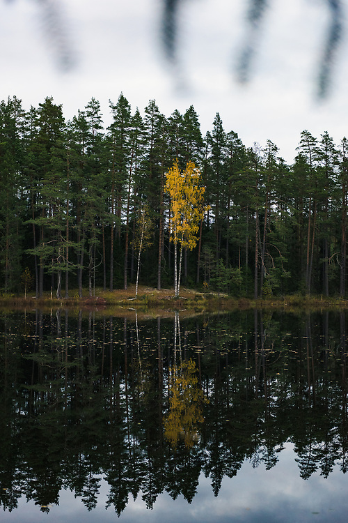 "Yellow birch tree (Betula sp.) and its reflection colors the dark boreal forest and  mirror-like lake on late autumn evening, at lake Darva, ""Darvas ezers"" near Cirgaļi, Latvia Ⓒ Davis Ulands | davisulands.com"