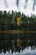 "Yellow birch tree (Betula sp.) and its reflection colors the dark boreal forest and  mirror-like lake on late autumn evening, at lake Darva, ""Darvas ezers"" near Cirgaļi, Latvia Ⓒ Davis Ulands   davisulands.com"