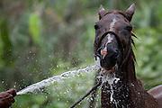 Robério gives his horse  a drink, Cubatão
