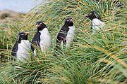 Rockhopper Penguins (Eudyptes chrysocome) surrounded by Tussock grass, New Island, Falkland Islands