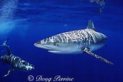 Galapagos sharks, Carcharhinus galapagensis, North Shore, Oahu, Hawaii, USA ( Central Pacific Ocean )