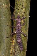 Vietnamese Bark Stick Insect, Neohirasea maerens, camouflaged on tree trunk