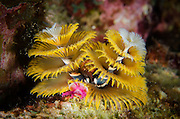 Christmas Tree Worm (Spirobranchus giganteus) on Star Coral (Montastraea cavernosa)<br /> BONAIRE, Netherlands Antilles, Caribbean<br /> HABITAT & DISTRIBUTION: Shallow & mid-range coral reefs, walls and rocky areas. <br /> Florida, Bahamas & Caribbean.Great