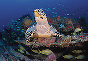 2004 Honorable Mention in the Nature's Best International Photography Awards Competition (Oceans); Hawksbill Sea Turtle, Eretmochelys imbricata, photographed on Spearman's barge, an artificial reef, in Palm Beach County, Florida, United States.