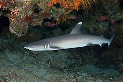 Triaenodon obesus, Weissspitzen Riffhai, whitetip reef shark, Marsa Alam, Wadi Gimal, Rotes Meer, Ägypten, Red Sea Egypt