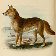 """The dingo (Canis familiaris, Canis dingo, Canis familiaris dingo, or Canis lupus dingo) is a dog found in Australia. Its taxonomic classification is debated. It is a medium-sized canine that possesses a lean, hardy body adapted for speed, agility, and stamina. From the Book Dogs, Jackals, Wolves and Foxes A Monograph of The Canidae [from Latin, canis, """"dog"""") is a biological family of dog-like carnivorans. A member of this family is called a canid] By George Mivart, F.R.S. with woodcuts and 45 coloured plates drawn from nature by J. G. Keulemans and Hand-Coloured. Published by R. H. Porter, London, 1890"""