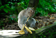 Seemingly pensive long-tailed macaque (Macaca fascicularis), also known as the crab-eating macaque, with banana. Sacred Monkey Forest of Padangtegal, Ubud, Bali, Indonesia