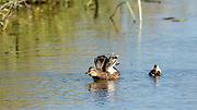 USA, Oregon, Baskett Slough National Wildlife Refuge, Gadwall hen (Anas strepera) with duckling