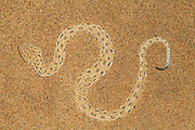 Zwergpuffotter, Peringuey-Wuestenotter | Peringueys Sidewinding adder (Bitis peringueyi), Namibia, Swakopmund Namib Desert sand dune; shot digital: 14,03inch x 9,317inch at 300 Pixel\inch