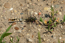 Common Sanddragon (Progomphus obscurus)<br /> <br /> Finfrock State Natural Habitat Area (Illinois)
