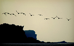 Guillemots off the West Coast of Colonsay.