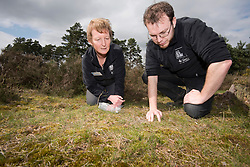 RSPB's Jane Sears and Back from the Brink's James Harding-Morris releasing a translocated Field cricket Gryllus campestris, RSPB Farnham Heath Nature Reserve, Surrey, April
