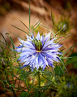 Love in a Mist flower. Image taken with a Nikon 1 V3 camera and 70-300 mm VR lens.