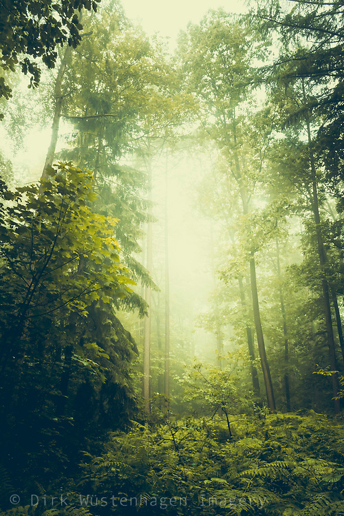 Deciduous forest on a misty summer morning with the sun about to shine through.<br /> FFA Prints --> http://bit.ly/DreamySummerForest_FAA_Prints