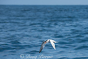 an elegant tern, Thalasseus elegans, carries off an anchovy chased to the surface by bluefin tuna feeding underwater, off San Diego, Southern California, United States ( Eastern Pacific Ocean )