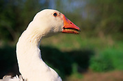 ADD2WB White Embden English goose head close up