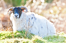 A ram near the slope of the Dumyat, a hill at the western extremity of the Ochil Hills, in central Scotland..Pic © Michael Schofield...