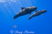 mother and calf short-finned pilot whales, Globicephala macrorhynchus, are followed by an oceanic whitetip shark, Carcharhinus longimanus, south Kona Coast, Hawaii, U.S.A. ( Central Pacific Ocean ); the shark feeds on feces and regurgitations of the whales, and may also utilize the whales to guide it to concentrations of prey