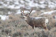 Mule deer buck during autumn rut in Wyoming with snow falling