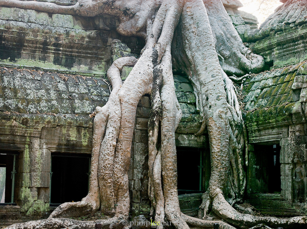 Thick tree roots grown over the walls of a temple at Angkor, Siem Reap Province, Cambodia
