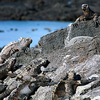 South America, Ecuador, Galapagos Islands, Santiago Island, James Island, Port Egas. A group of Marine Iguanas bask on the rocks.