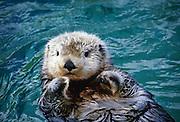 An alaskan sea otter (Enhydra lutris).