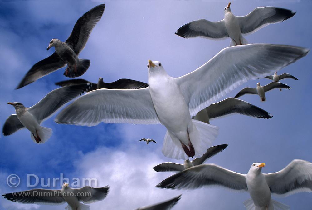 Western gulls flying (Larus occidentalis) on the Oregon Coast.