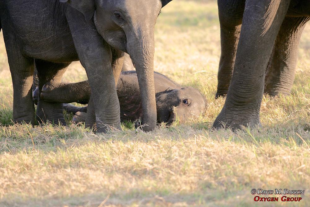 Asian Elephants With Baby Elephant Lying Down, Minneriya National Park