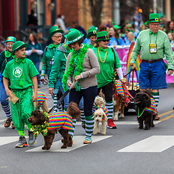 York, PA - March 12, 2016: Therapy dogs in green walk in the annual Saint Patrick's Day Parade in the City of York, Pennsylvania.
