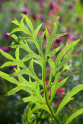 Foliage of Silphium laciniatum