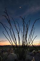 Moon above Ocotillo (Fouquieria splendens) silhouette, Kofa Mountains Wildlife Refuge Arizona