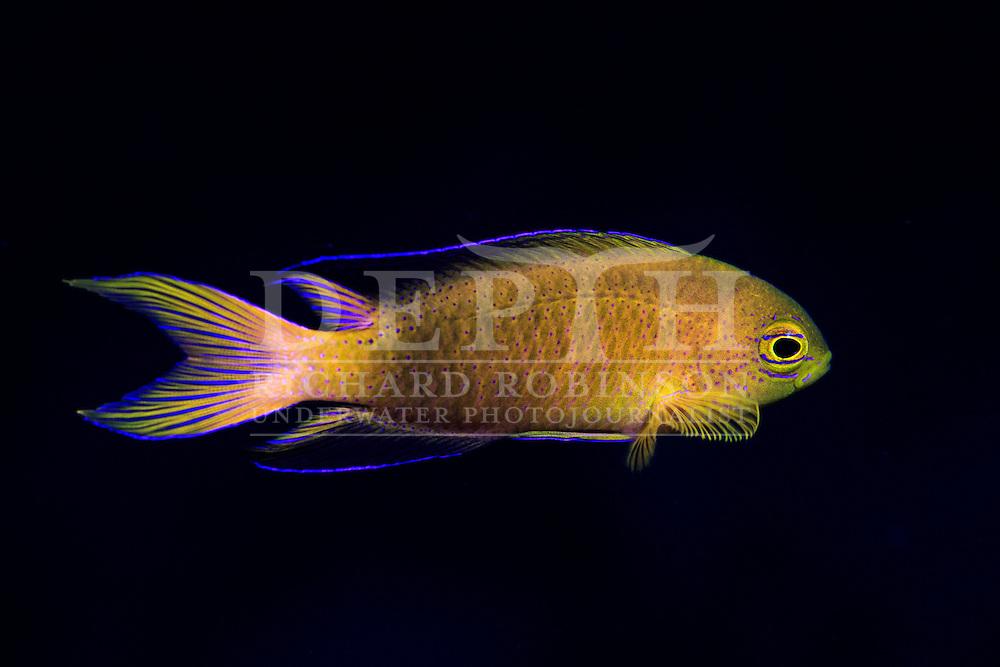 Chrysiptera rapanui (Kermadec demoiselle). <br /> Saturday 03 October 2015.<br /> Photograph Richard Robinson © 2015.<br /> Dive Number: 757.<br /> Site: Denham Bay, Raoul Island, Kermadec Islands, New Zealand.<br /> Dive Buddy: Steve Hathaway.<br /> Boat: Braveheart.<br /> Temperature: 19 degrees.<br /> Maximum Depth: 21.1 meters.<br /> Bottom Time: 60 minutes.<br /> Bottom Time to Date: 42,190 minutes.<br /> Cumulative Time: 42,250 minutes.
