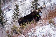 Bull Moose, Big Cottonwood Canyon, Utah