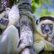 """White lemurs in the Kirindy  dry valley near among mangroves in the western coastal region of Madagascar. <br /> <br /> The composition of Madagascar's wildlife reflects the fact that the island has been isolated for about 88 million years. Madagascar split from India about 88 million years ago, allowing plants and animals on the island to evolve in relative isolation.<br /> <br /> As a result of the island's long isolation from neighboring continents, Madagascar is home to an abundance of plants and animals found nowhere else on Earth. Approximately 90 percent of all plant and animal species found in Madagascar are endemic, including the lemurs, the c and many birds. This distinctive ecology has led some ecologists to refer to Madagascar as the """"eighth continent"""", and the island has been classified by Conservation International as a biodiversity hotspot."""